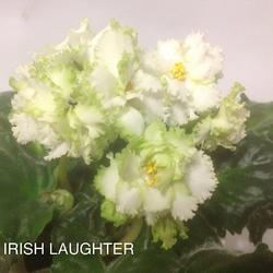 Фиалка IRISH LAUGHTER