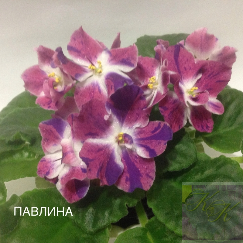 Фиалка РМ-ПАВЛИНА