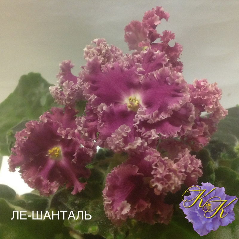 Фиалка ЛЕ-Шанталь